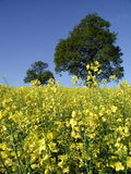Oil seed rape in the field Royalty Free Stock Photo