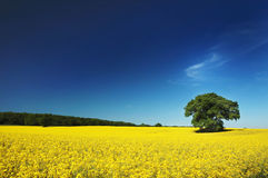 Oil seed rape field UK. Oil seed rape field in the summer with a single tree Royalty Free Stock Images