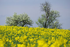 Oil-seed rape field. With trees in background - depth of field Royalty Free Stock Photo