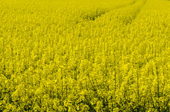 Oil seed rape field. Yellow field with oil seed rape, in early spring Royalty Free Stock Photography