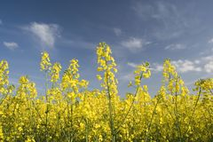 Oil Seed Fields. Bright yellow flowers of this popular British crop seen in the early Summer royalty free stock images