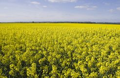 Oil Seed Rape Fields Stock Photography