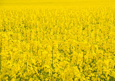 Oil seed rape flowering: yellow background. . An image of a field with good crop of oil seed rape in flower soon to be harvested. The image should also provide Royalty Free Stock Images