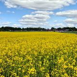 Oil seed rapeseed Royalty Free Stock Photos