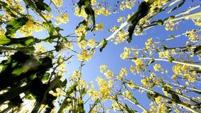 Oil seed rapeseed stock video