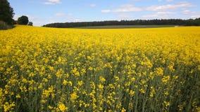 Oil seed rapeseed stock footage