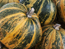 Oil-Squash-greenyellow Stock Photography