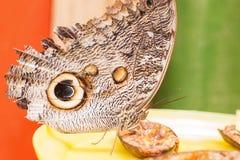 Oileus de Caligo del gigante, la mariposa gigante del búho de Oileus, r amazónico Fotos de archivo