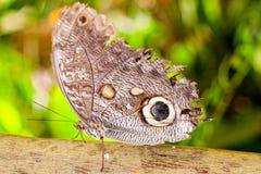 Giant Caligo Oileus Butterfly Royalty Free Stock Photo