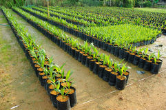 Oilo palm nursery Stock Photo