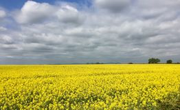 Oils seed rape in a Cotswolds field. Cheltenham glos 2017 Royalty Free Stock Photos