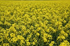 Oilseed Stock Photography