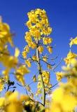 oilseed Arkivfoton