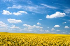 Oilseed Stock Photo