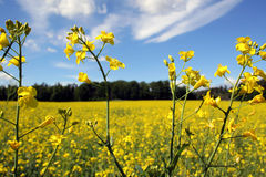 Oilseed stock photos