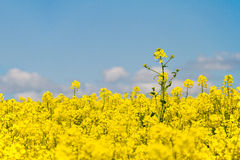 Oilseed and Blue Sky Royalty Free Stock Image
