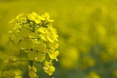 oilseed canola близкий вверх Стоковое Изображение RF