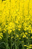 Oilseed. Field background close up stock photos
