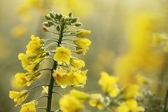 Oilseed gwałt Fotografia Royalty Free