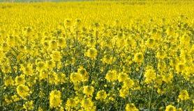 Oilseed gwałta kwiaty obrazy stock