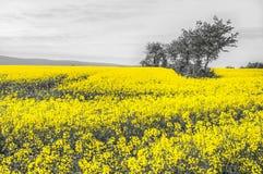Oilseed gwałta pola Obrazy Stock