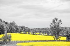 Oilseed gwałta pola Zdjęcie Stock