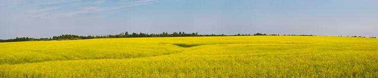 Oilseed gwałta pole. Panoramiczny widok fotografia stock