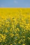 Oilseed gwałt Obraz Stock