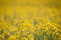 Oilseed gwałt Zdjęcia Royalty Free