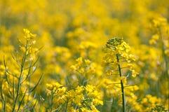Oilseed gwałt Fotografia Stock