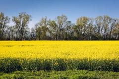 Oilseed gwałt na polu Obrazy Royalty Free