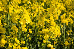Oilseed gwałt na polu Obraz Stock