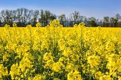 Oilseed gwałt na polu Obraz Royalty Free