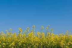 Oilseed niebieskie niebo i gwałt Obrazy Royalty Free