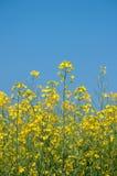 Oilseed niebieskie niebo i gwałt Obrazy Stock