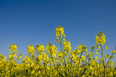 Oilseed 1. A close up of an oilseed field, blue sky behind royalty free stock photo