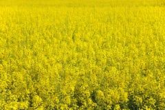 Oilseed Rape. Field of oilseed rape in spring Stock Images
