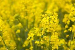 Oilseed rape. Fresh oilseed rape blooming in spring Stock Photo