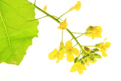 Oilseed rape. Flowering oilseed rape before white background Royalty Free Stock Photo