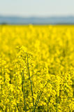 Oilseed rape Royalty Free Stock Photos