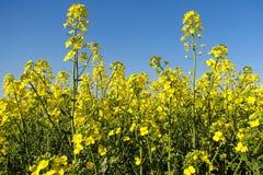 Oilseed rape Royalty Free Stock Photography