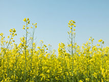 Oilseed Rape. In front of blue sky Royalty Free Stock Photos