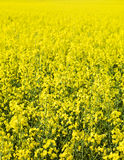 Oilseed Rape. Full Frame of Oilseed Rape Stock Photo