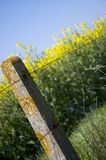 Oilseed rape 5 Royalty Free Stock Images
