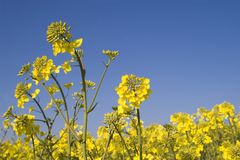 Oilseed Rape. Crop against a brilliant blue sky with room for copy Stock Images