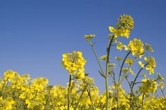 Oilseed Rape. Crop against a brilliant blue sky with room for copy Royalty Free Stock Photo