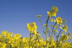 Oilseed Royalty Free Stock Photo