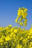Oilseed rape 7 Stock Image