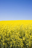 Oilseed rape Stock Images