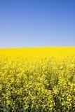 Oilseed rape. Field of yellow oilseed rape Stock Images